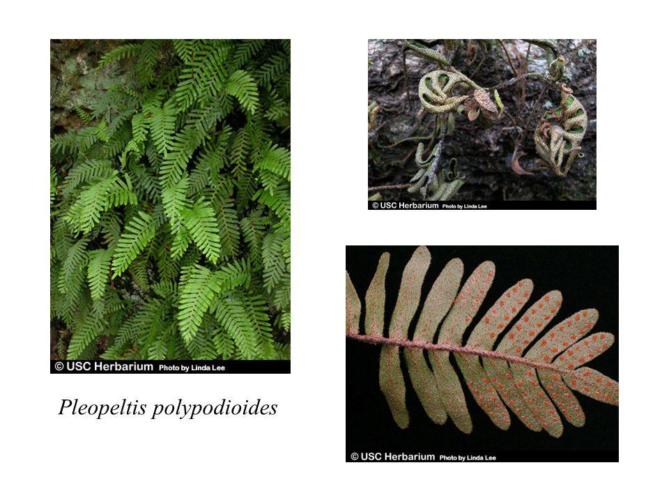 Pleopeltis polypodioides