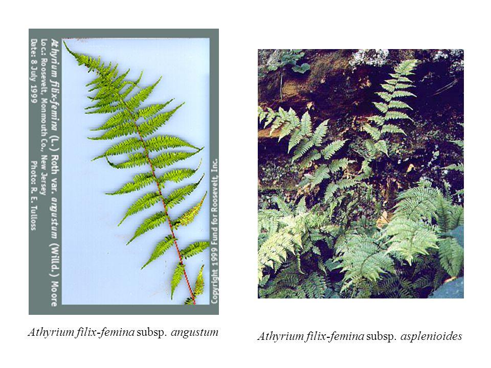 Athyrium filix-femina subsp. angustum Athyrium filix-femina subsp. asplenioides