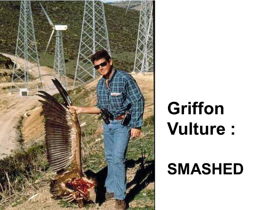 Griffon Vulture : SMASHED