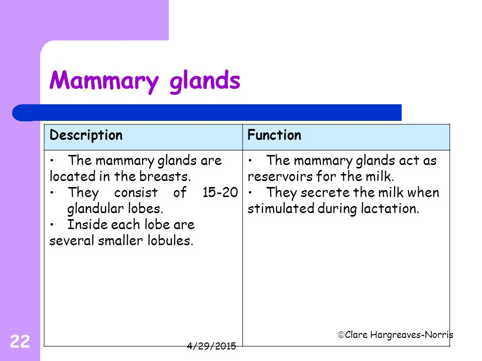 4/29/2015  Clare Hargreaves-Norris 22 Mammary glands DescriptionFunction The mammary glands are located in the breasts. They consist of 15-20 glandul