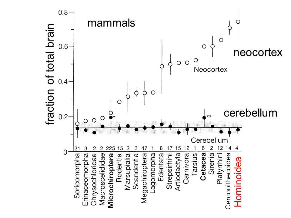 fraction of total brain neocortex cerebellum Hominoidea mammals