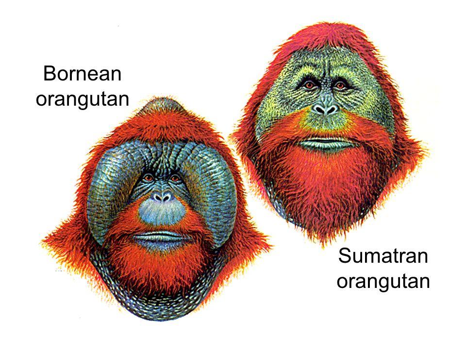 Bornean orangutan Sumatran orangutan