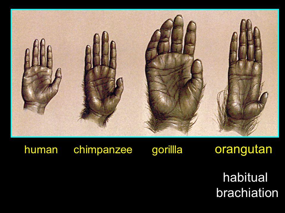 human chimpanzee gorillla orangutan habitual brachiation