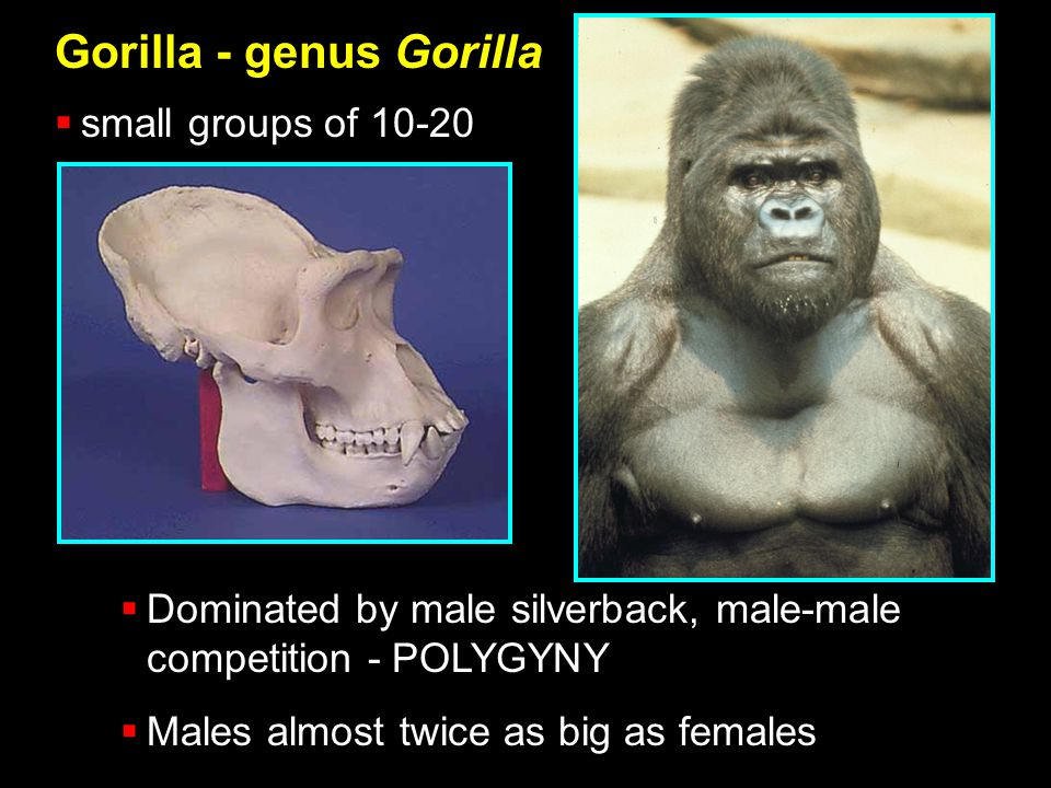 Gorilla - genus Gorilla  small groups of 10-20  Dominated by male silverback, male-male competition - POLYGYNY  Males almost twice as big as females