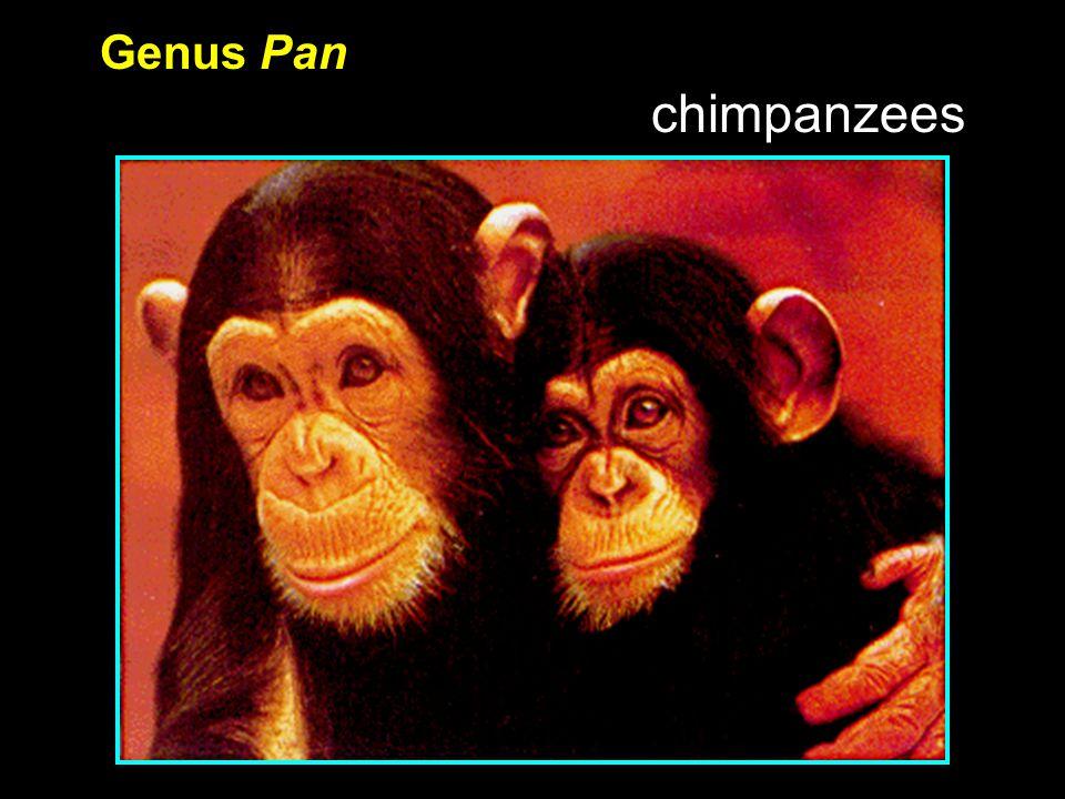 Genus Pan chimpanzees
