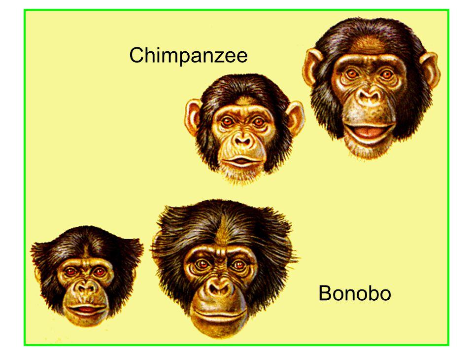 Chimpanzee Bonobo