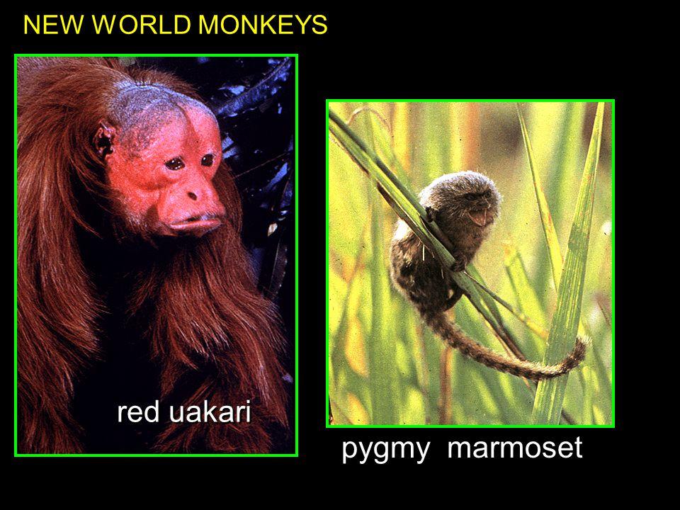 red uakari NEW WORLD MONKEYS pygmy marmoset