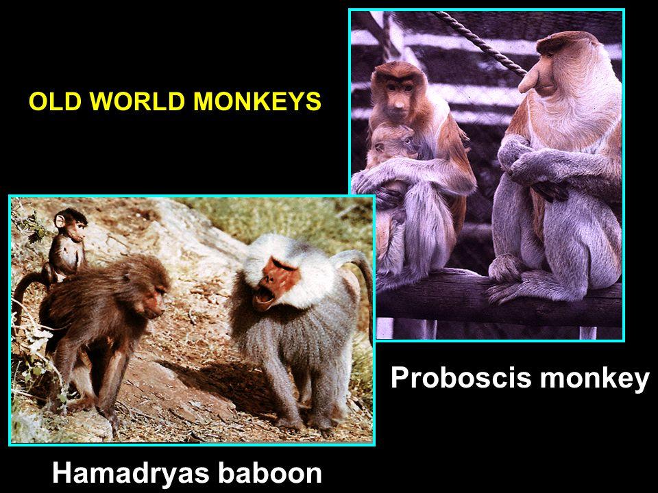 OLD WORLD MONKEYS Proboscis monkey Hamadryas baboon