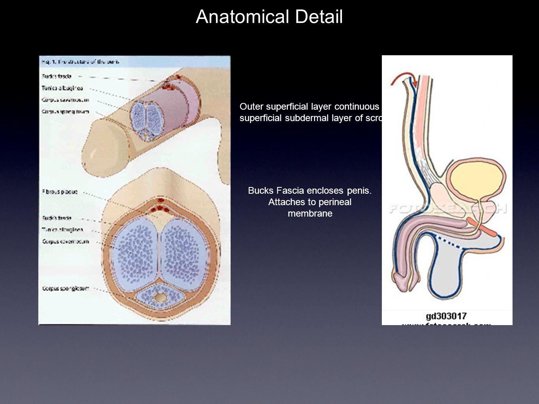 Anatomical Detail Bucks Fascia encloses penis.