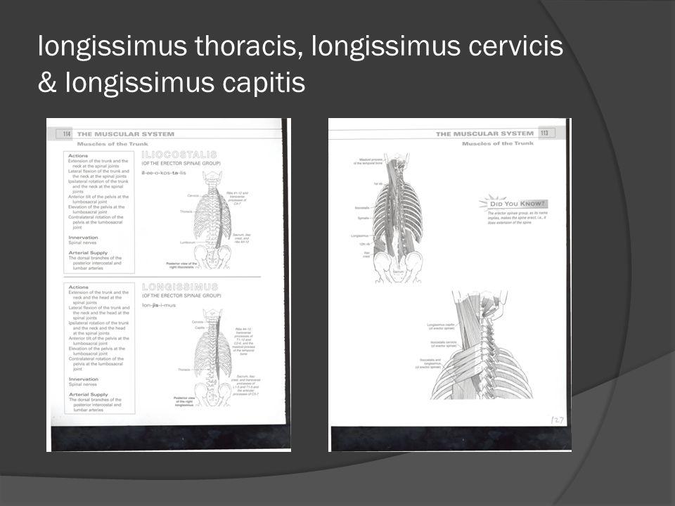 longissimus thoracis, longissimus cervicis & longissimus capitis