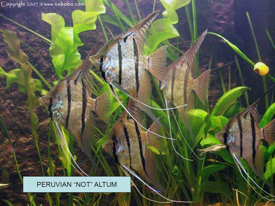 """PERUVIAN """"NOT"""" ALTUM"""