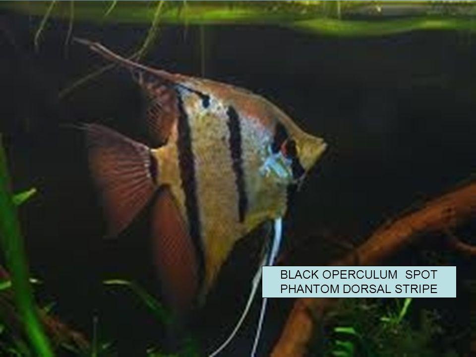 BLACK OPERCULUM SPOT PHANTOM DORSAL STRIPE