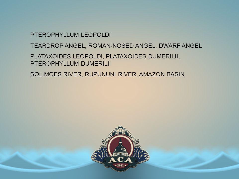 PTEROPHYLLUM LEOPOLDI TEARDROP ANGEL, ROMAN-NOSED ANGEL, DWARF ANGEL PLATAXOIDES LEOPOLDI, PLATAXOIDES DUMERILII, PTEROPHYLLUM DUMERILII SOLIMOES RIVE