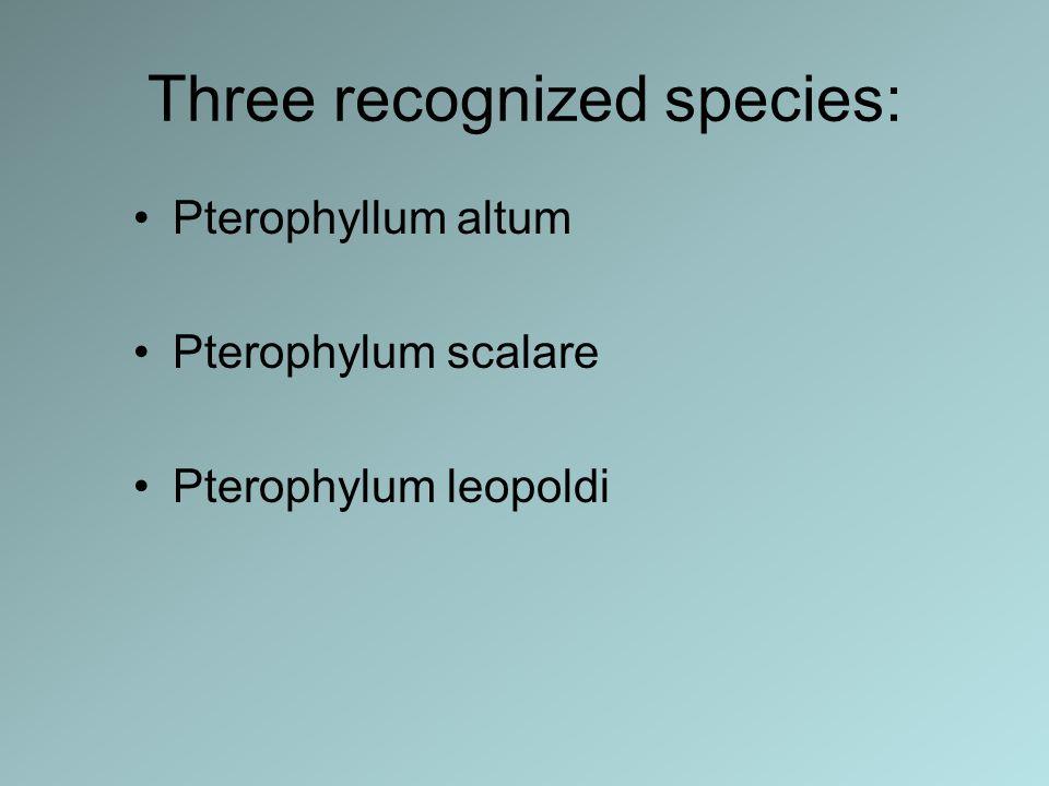 Three recognized species: Pterophyllum altum Pterophylum scalare Pterophylum leopoldi