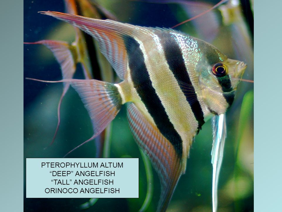 "PTEROPHYLLUM ALTUM ""DEEP"" ANGELFISH ""TALL"" ANGELFISH ORINOCO ANGELFISH"