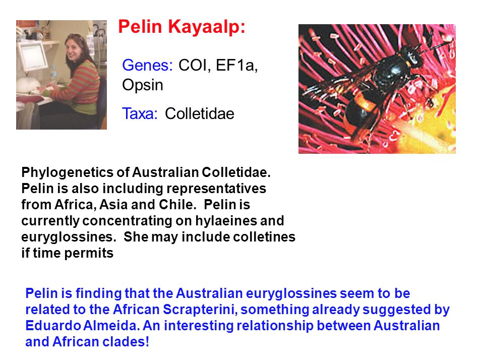 Pelin Kayaalp: Phylogenetics of Australian Colletidae.
