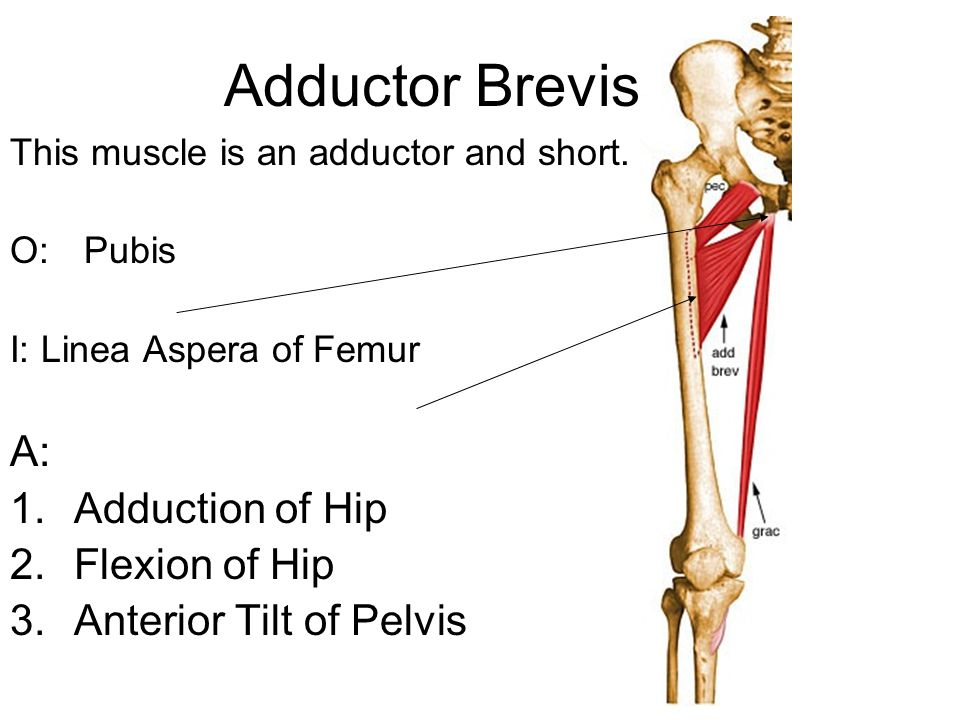 Adductor Brevis This muscle is an adductor and short.