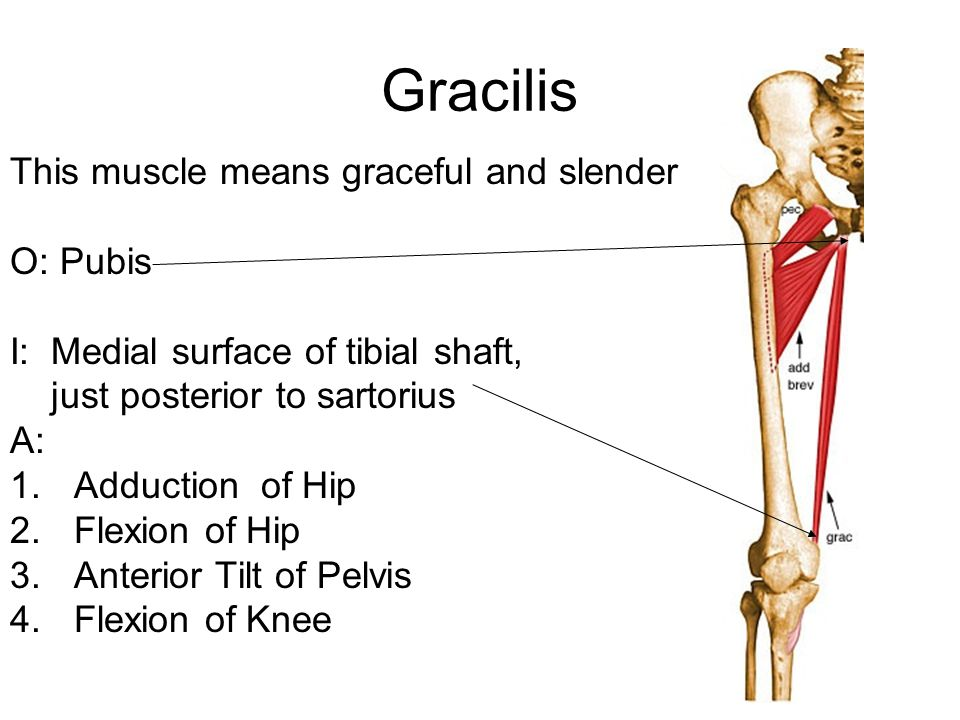 Gracilis This muscle means graceful and slender O: Pubis I: Medial surface of tibial shaft, just posterior to sartorius A: 1.Adduction of Hip 2.Flexion of Hip 3.Anterior Tilt of Pelvis 4.Flexion of Knee