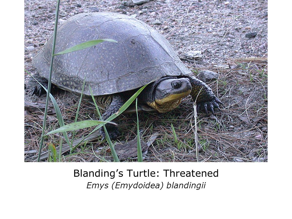 If you find a turtle on the road: slow down avoid hitting it carry it in direction it was traveling transport it to wetland