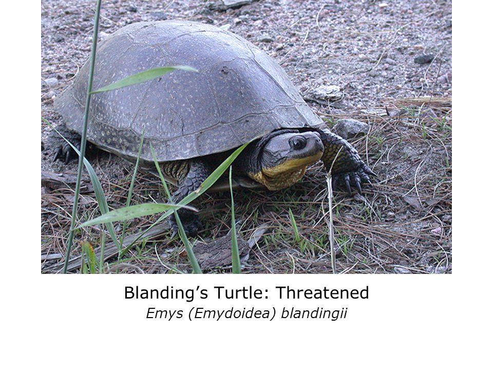 Blanding's Turtle: Threatened Emys (Emydoidea) blandingii