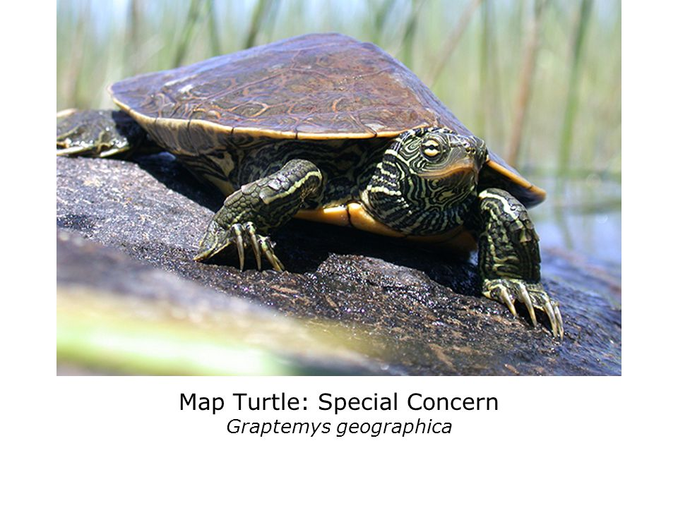Only 1% of all Ontario turtles eggs survive to adulthood!