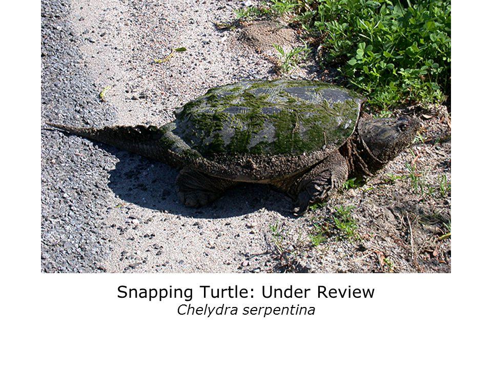 Spiny Softshell Turtle: Threatened Apalone spinifera