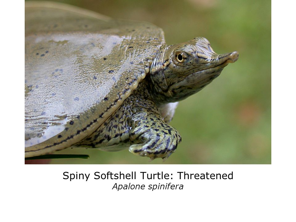 Spotted Turtle: Endangered (Not Regulated) Clemmys guttata