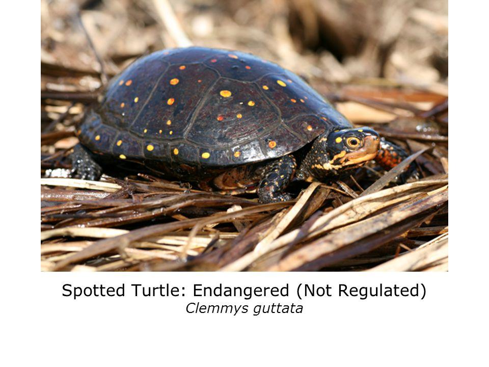 Stinkpot (Common Musk Turtle): Threatened Sternotherus odoratus