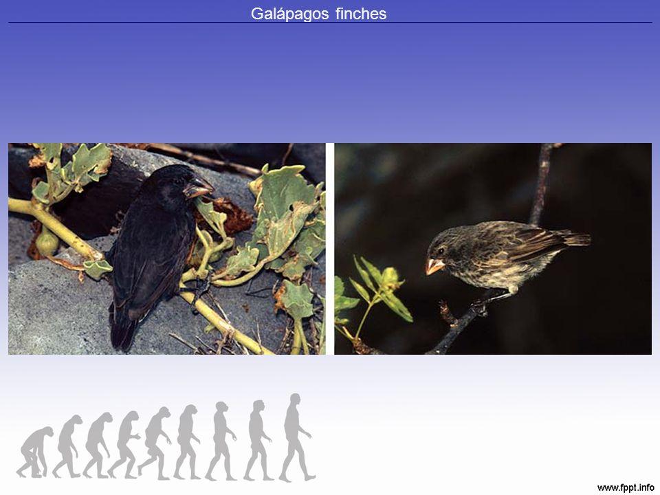 Galápagos finches
