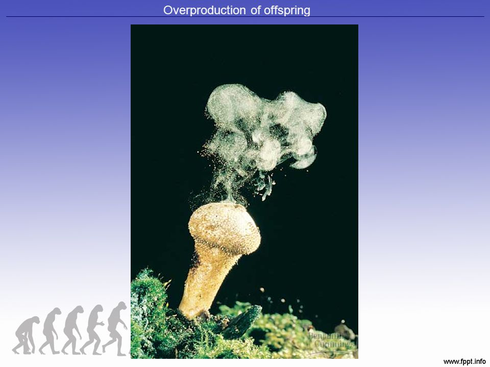 Overproduction of offspring