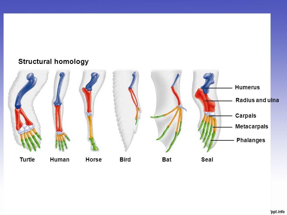 Structural homology TurtleHumanHorse BirdBat Seal Humerus Radius and ulna Carpals Metacarpals Phalanges