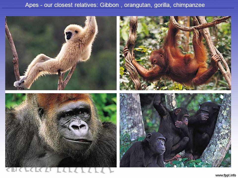 Apes - our closest relatives: Gibbon, orangutan, gorilla, chimpanzee