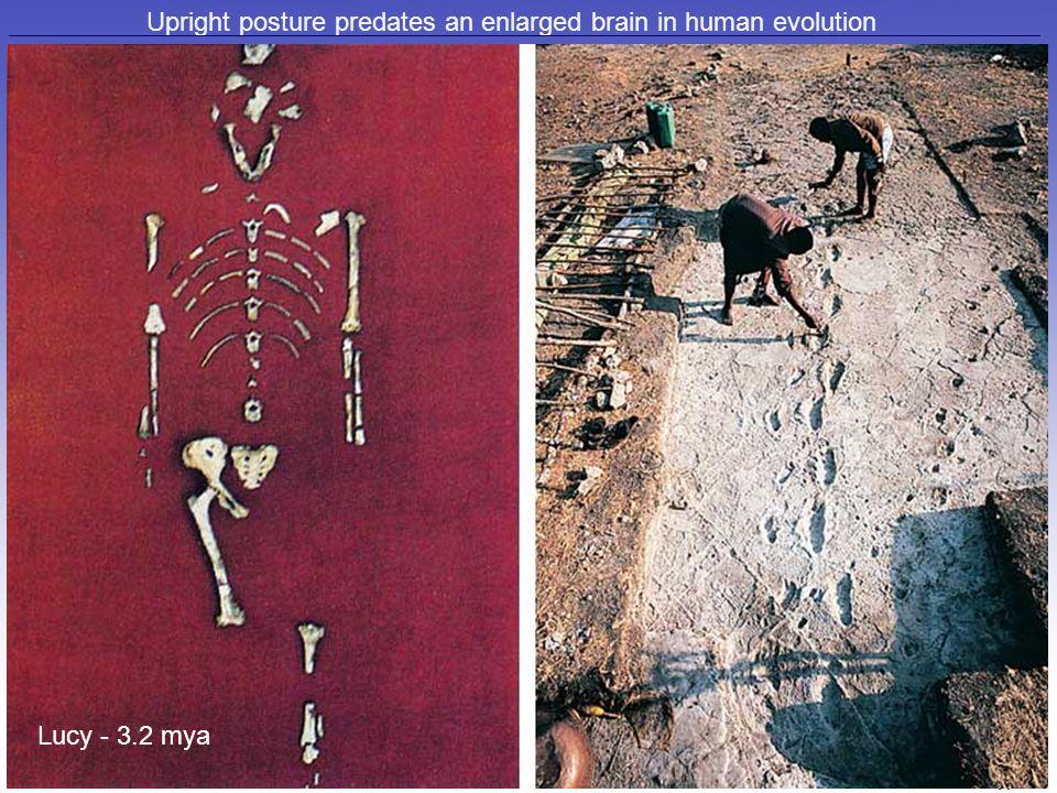 Upright posture predates an enlarged brain in human evolution Lucy - 3.2 mya