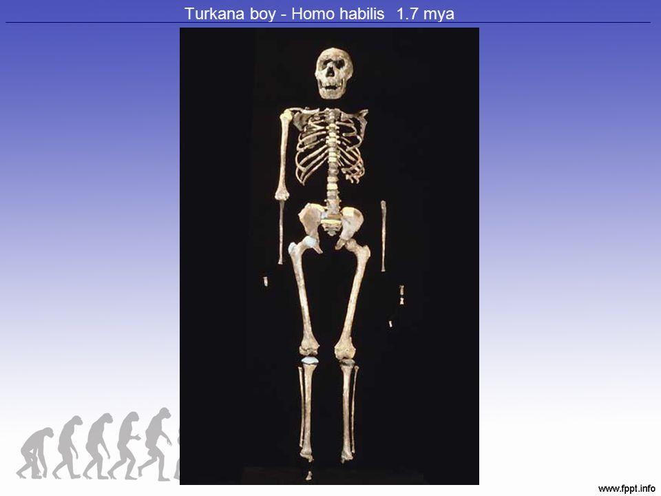 Turkana boy - Homo habilis 1.7 mya