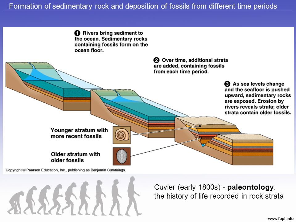 Formation of sedimentary rock and deposition of fossils from different time periods Cuvier (early 1800s) - paleontology: the history of life recorded