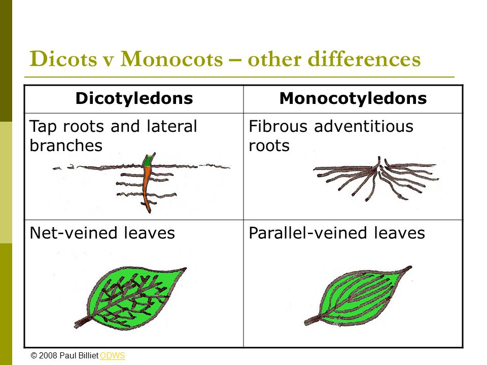 Dicots v Monocots – other differences DicotyledonsMonocotyledons Tap roots and lateral branches Fibrous adventitious roots Net-veined leavesParallel-v