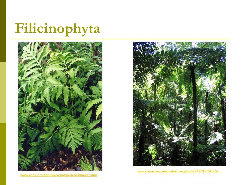 Filicinophyta www.rook.org/earl/bwca/nature/ferns/index.html procosara.org/san_rafael_en,photo,64?PHPSESSI...