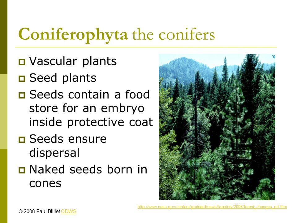Coniferophyta http://www.nearctica.com/trees/conifer/places/eastern.htm http://www.britannica.com/ebc/art-21824/Monkey-puzzle-tree Araucaria sp.