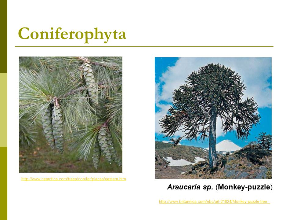 Angiospermophyta the flowering plants  Vascular plants  Seed plants  Seeds protected by an ovary which becomes a fruit  Fruit, a structure that encourages seed dispersal © 2008 Paul Billiet ODWSODWS