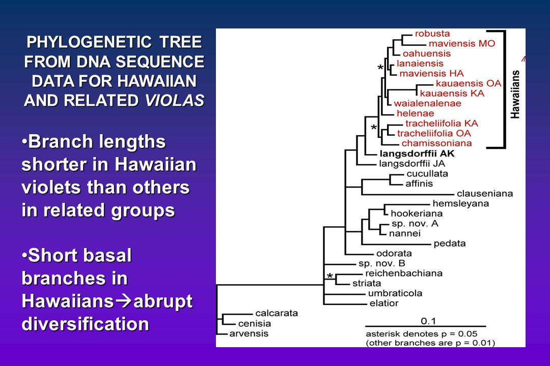 PHYLOGENETIC TREE FROM DNA SEQUENCE DATA FOR HAWAIIAN AND RELATED VIOLAS Branch lengths shorter in Hawaiian violets than others in related groupsBranc