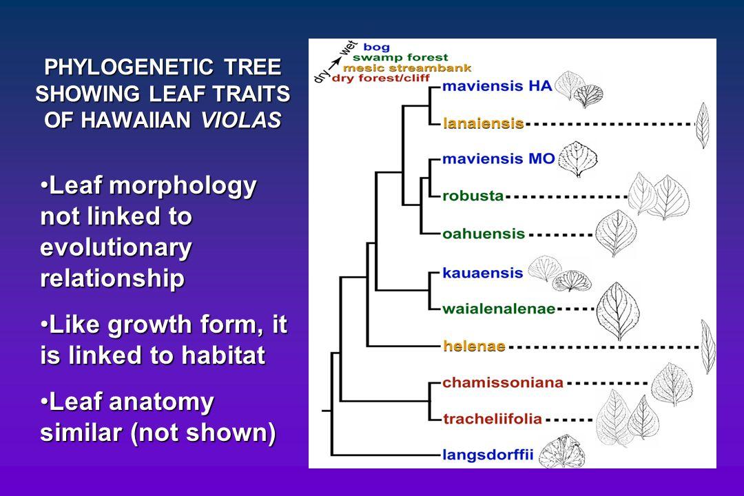PHYLOGENETIC TREE SHOWING LEAF TRAITS OF HAWAIIAN VIOLAS Leaf morphology not linked to evolutionary relationshipLeaf morphology not linked to evolutio