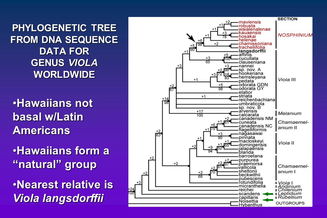PHYLOGENETIC TREE FROM DNA SEQUENCE DATA FOR GENUS VIOLA WORLDWIDE Hawaiians not basal w/Latin AmericansHawaiians not basal w/Latin Americans Hawaiian