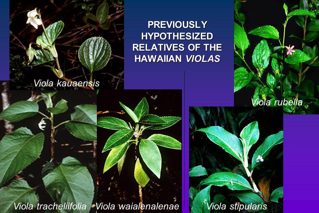 PREVIOUSLY HYPOTHESIZED RELATIVES OF THE HAWAIIAN VIOLAS Viola kauaensis Viola tracheliifoliaViola waialenalenaeViola stipularis Viola rubella