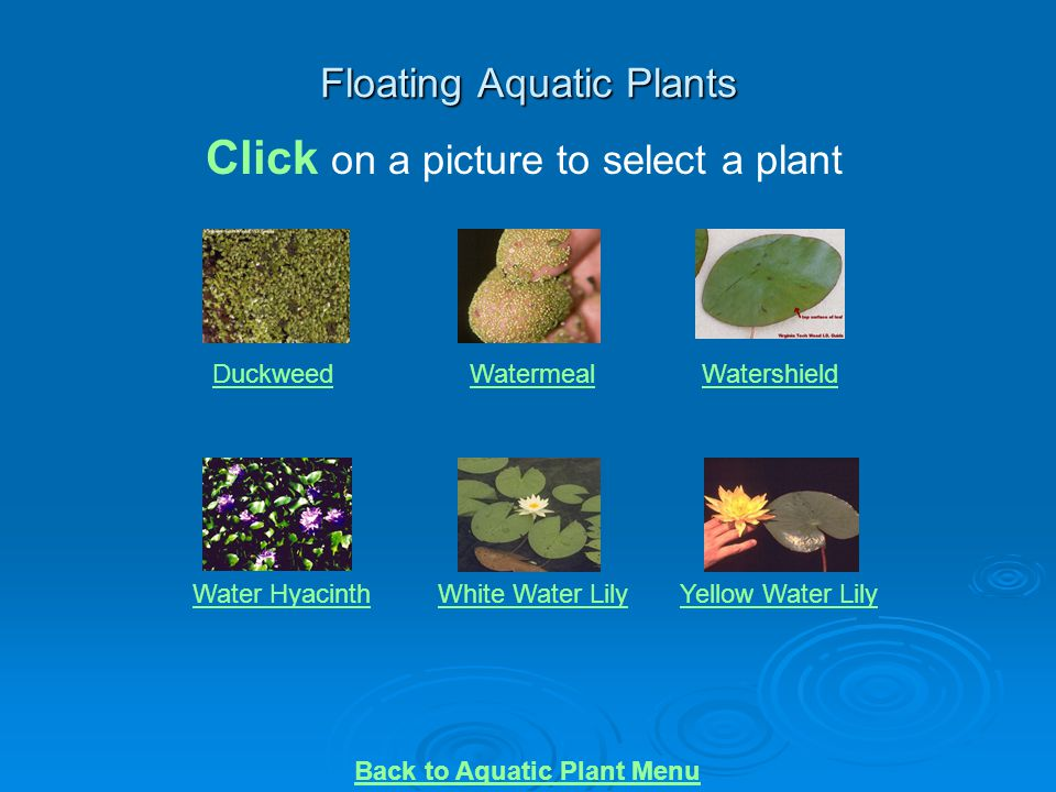 Floating Aquatic Plants DuckweedWatermealWatershield Water HyacinthWhite Water LilyYellow Water Lily Click on a picture to select a plant Back to Aqua