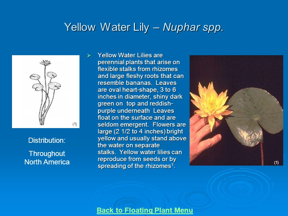 Yellow Water Lily – Nuphar spp.  Yellow Water Lilies are perennial plants that arise on flexible stalks from rhizomes and large fleshy roots that can