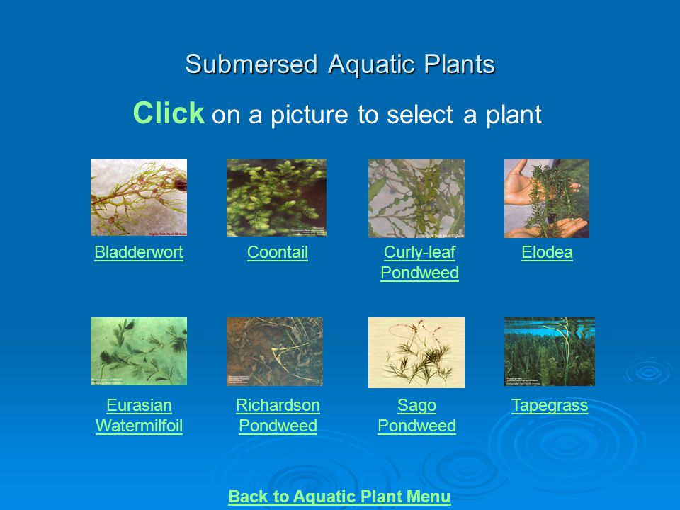 Submersed Aquatic Plants BladderwortCoontailCurly-leaf Pondweed Elodea Eurasian Watermilfoil Richardson Pondweed Sago Pondweed Tapegrass Click on a pi