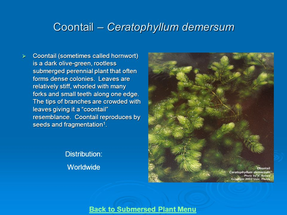 Coontail – Ceratophyllum demersum  Coontail (sometimes called hornwort) is a dark olive-green, rootless submerged perennial plant that often forms de