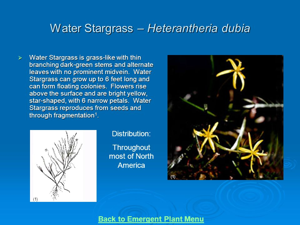 Water Stargrass – Heterantheria dubia  Water Stargrass is grass-like with thin branching dark-green stems and alternate leaves with no prominent midv
