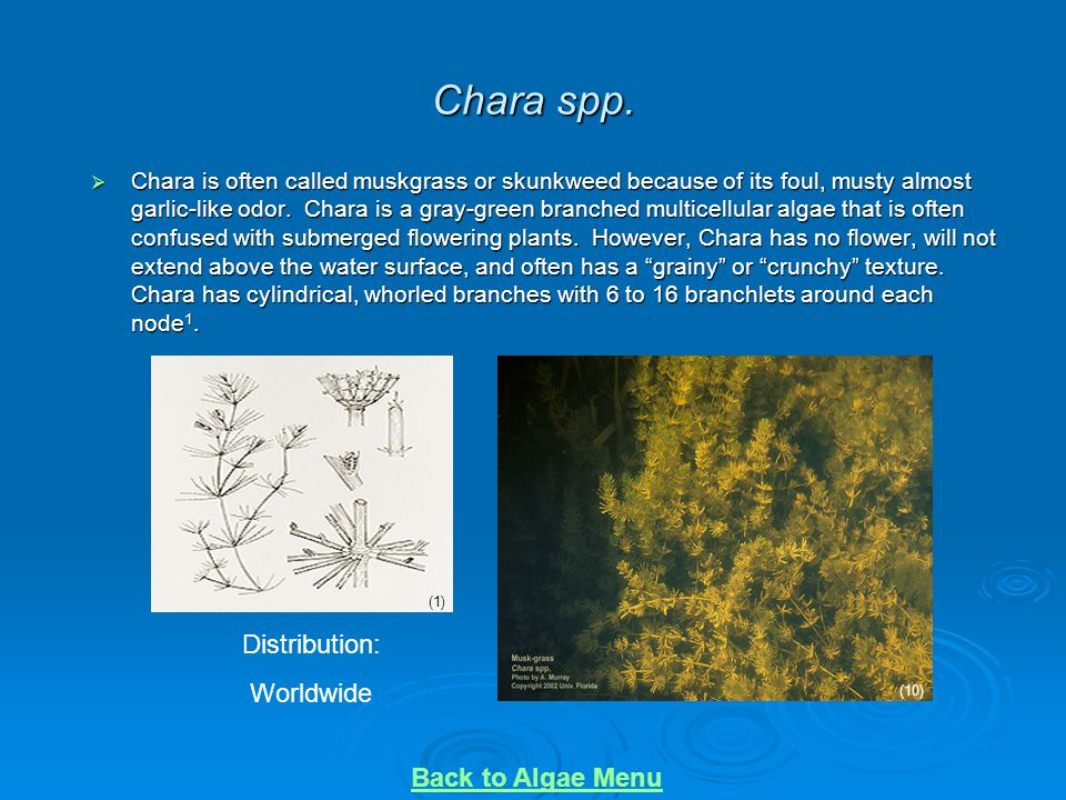 Chara spp.  Chara is often called muskgrass or skunkweed because of its foul, musty almost garlic-like odor. Chara is a gray-green branched multicell