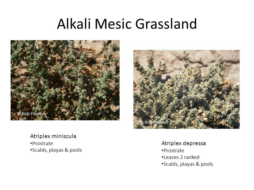 Alkali Mesic Grassland Atriplex miniscula Prostrate Scalds, playas & pools Atriplex depressa Prostrate Leaves 2 ranked Scalds, playas & pools © Rob Preston